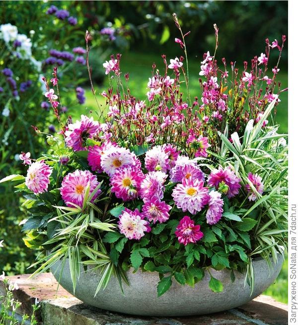 Ярко и вместе с тем нежно выглядят бело-розовые цветки георгины сорта Dahlietta.
