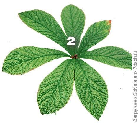 Роджерсия перистая (Rodgersia pinnata) отличается от других видов более вытянутыми листьями.