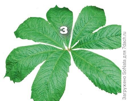 Роджерсия конскокаштано листная (Rodgersia aesculofolia) оправдывает свое название, так ее листья похожи на листья конского каштана.
