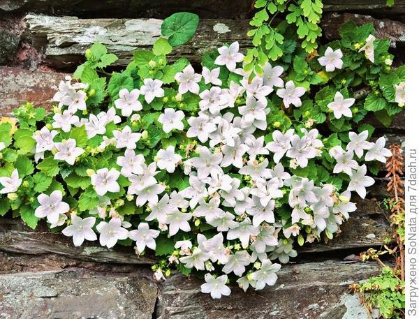Классические обитатели стенок - колокольчики и папоротник. Часто они попадают в швы между камнями естественным путем.