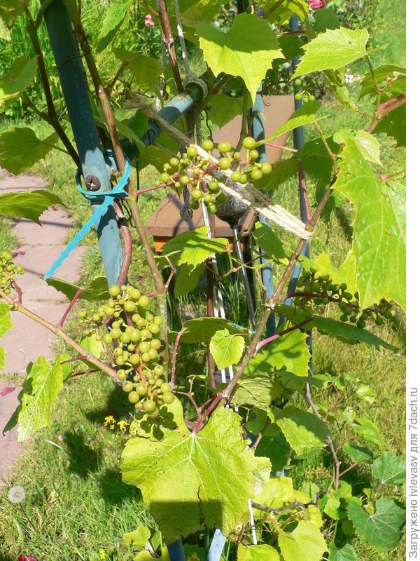 Может еще и виноград поедим