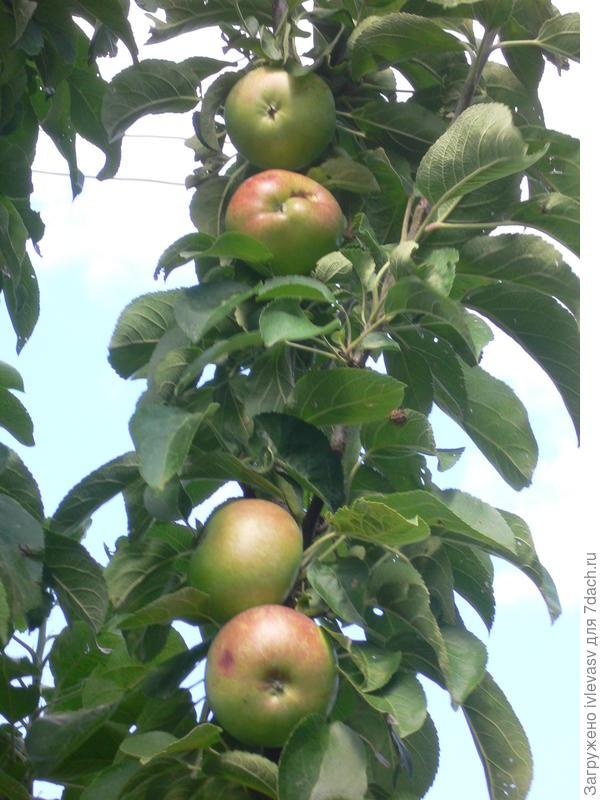 Чеи больше яблоня растет, то все меньше плодов