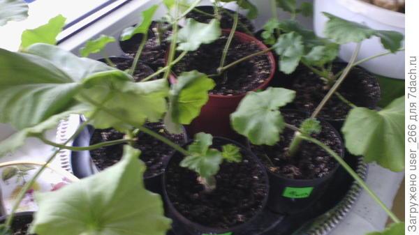 Пеларгония из черенков,из прошлогоднего растения.Все будет высаживаться на улице (думаю посадить в вазоны).