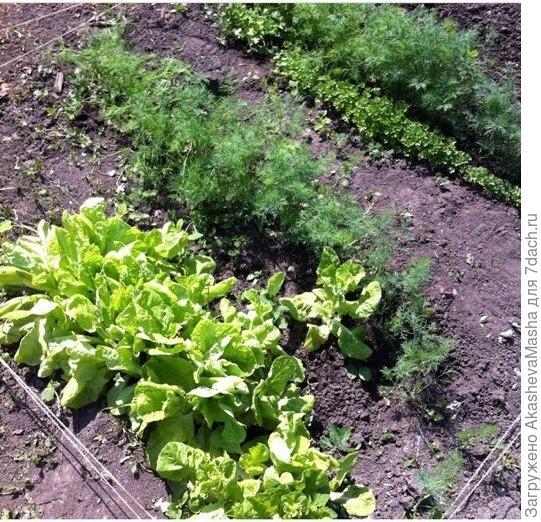 Грядка зелени в начале лета