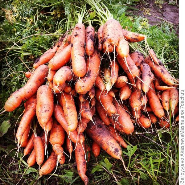 Часть моего первого урожая моркови