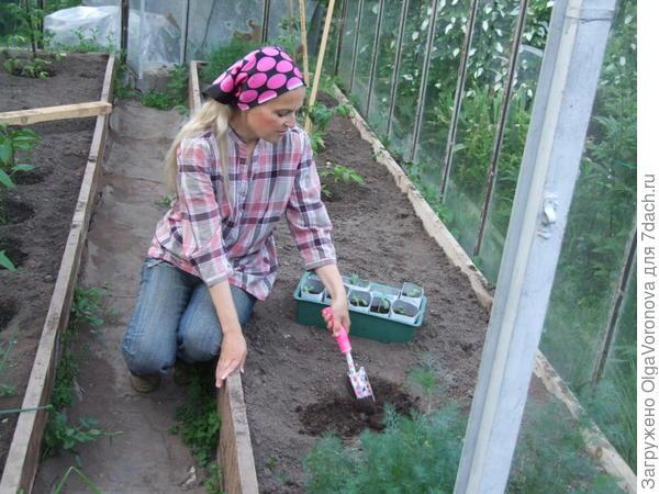 Посадка арбузов в теплицу