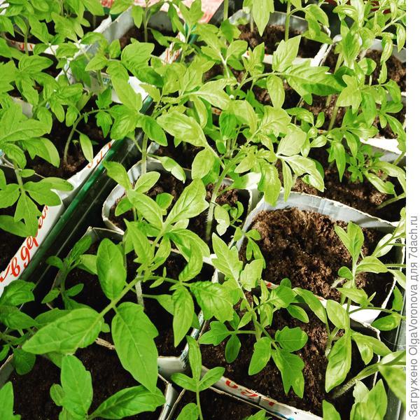 Для рассады не подойдут подкормки для взрослых растений. Фото автора