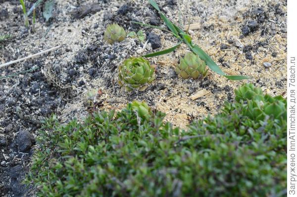 чабрец ползучий (2 видов) молодило кровельное