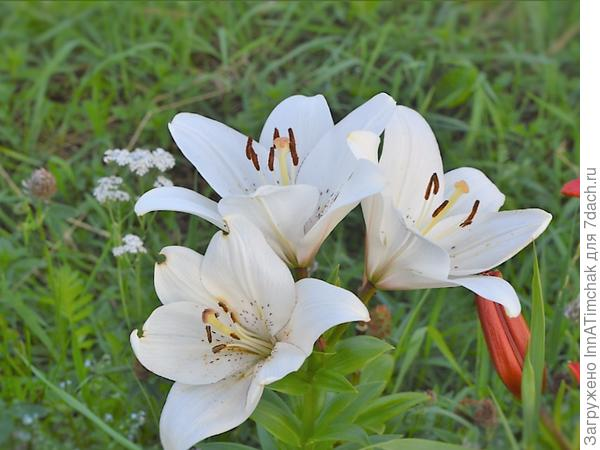 Что сделать чтобы не пахли лилии