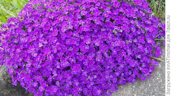 Aubretia, Голубой Подушке, Фиолетовый, Сад Камней