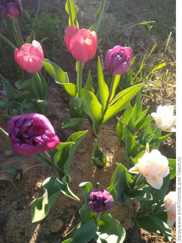 смесь тюльпанов