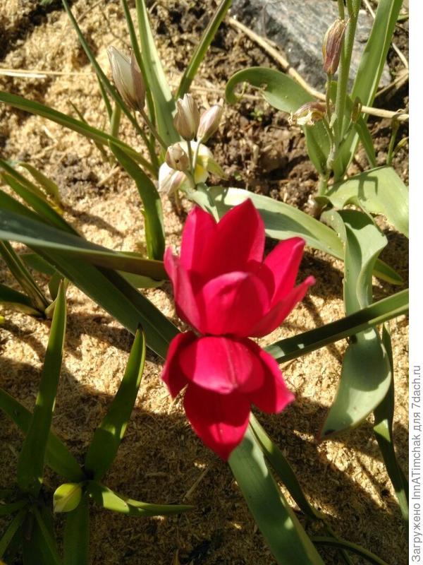 тюльпан ботанический Красный крокус