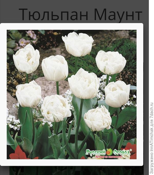 Тюльпаны маунт такома