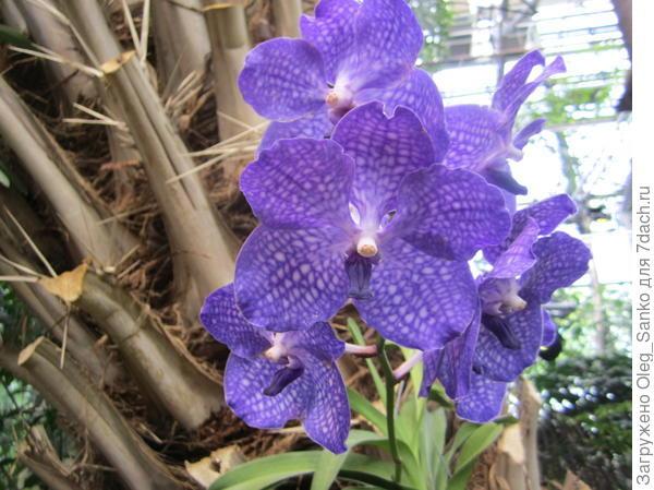Ванда- цветок произрастающий в зимнем саду  московского Аптекарского огорода