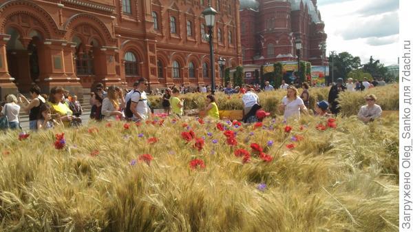 Зерновые колосятся в центре города. Такого на площади Революции еще не бывало