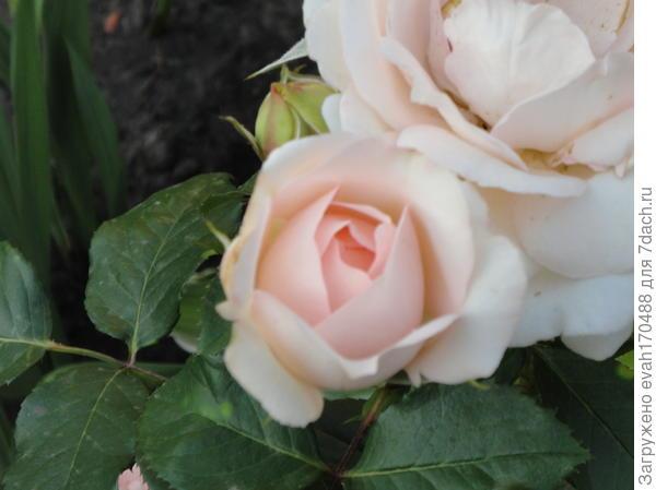 названия розы к сожалению не записала при покупке