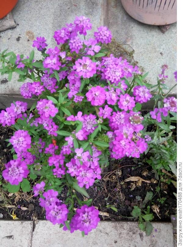 цветет до заморозков, почти всё лето.