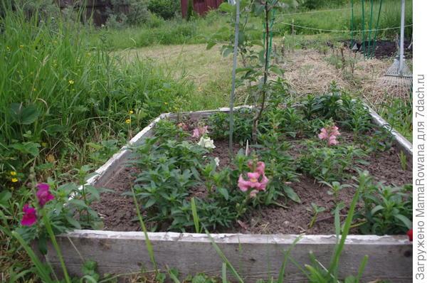 Львиный зев и томатики в соломке
