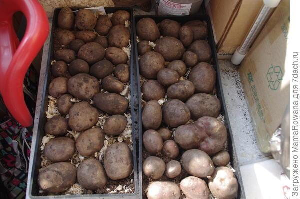 Картошка уложена на яровизацию. Поддон, опилки, свет, ежедневное опрыскивание.
