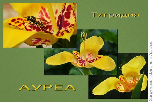 Тигридия «Ауреа»