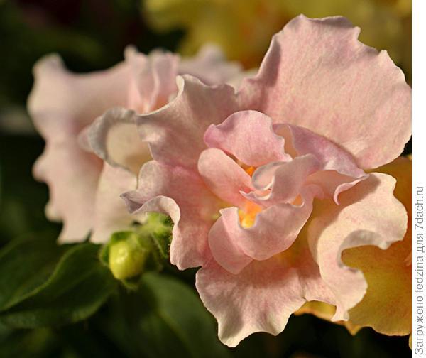 Твинни Роз