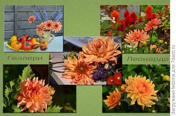 Полюбите Леонардо и вы до нового года будете радоваться его цветению. Ведь так мало цветов, способных цвести так долго.