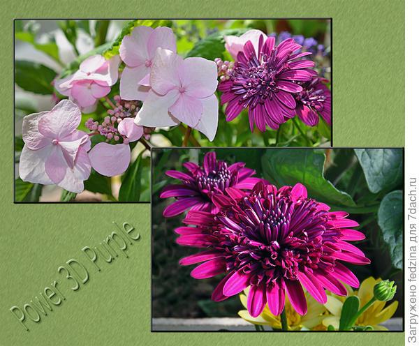 Остеоспермум «Flower Power 3D Purple»