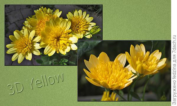 Osteospermum 3D Yellow