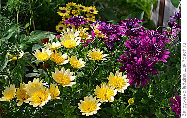 Махровые остеопермумы: Желтый - 3D Yellow. Фиолетовый - Double Purple