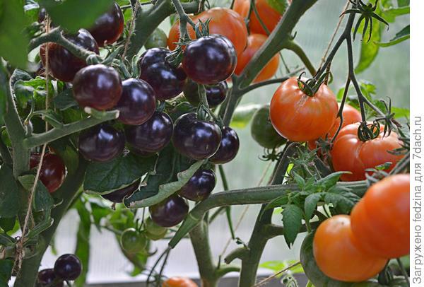 Черная гроздь и грейпфрут
