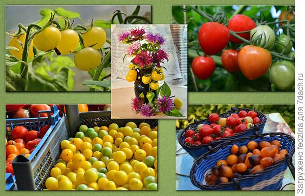 Кто хочет получить большой урожай в килограммах, тот должен сажать, конечно, крупные индетерминанты, от них урожай больше с одной площади, а кому нужны конфетки-игрушки для деток, может посадить и по одному кустику томатов черри.
