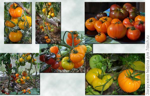 Ананасы помидорные