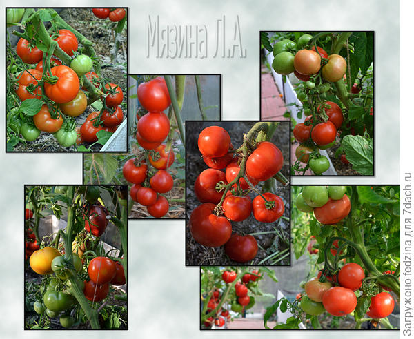 Томаты-фрукты Л.А. Мязиной