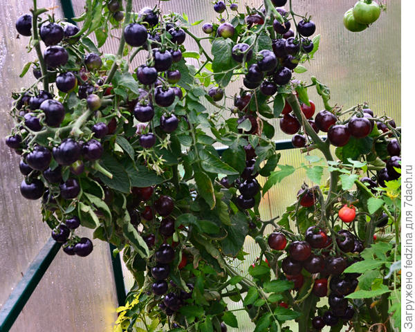 Черная гроздь в октябре