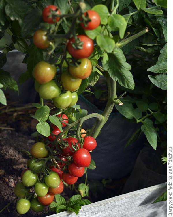 Томаты висят гроздями