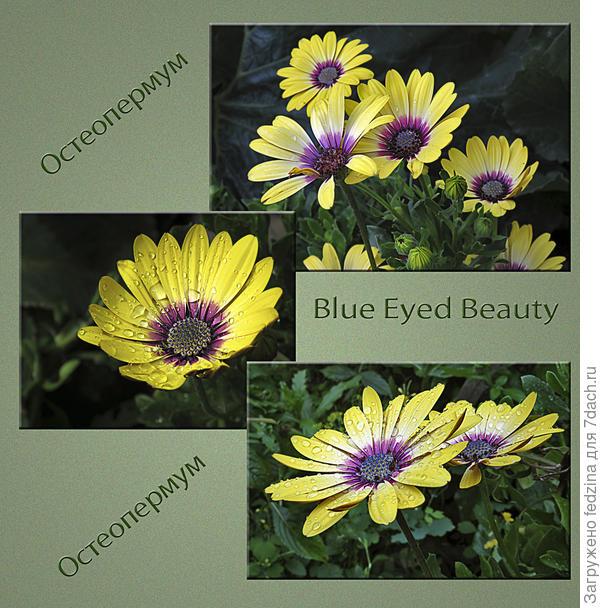 Перезимовавший остеоспермум Blue Eyed Beauty