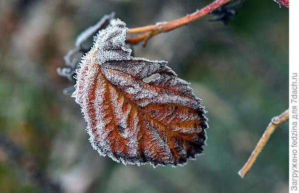 Листик подмороженный