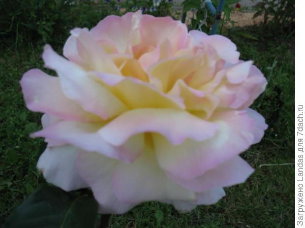 Купить розы для посадки дешево в орле доставкацветов по городу