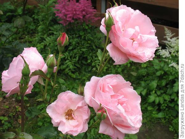 Розы не знаю . что за сорт . Очень красивые.
