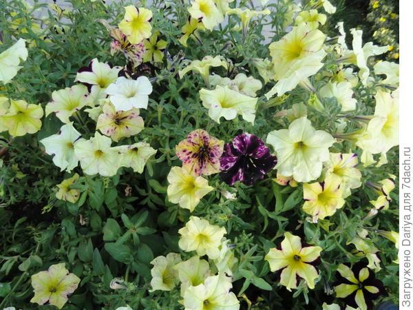 В оформлении цветников очень часто используют анютины глазки