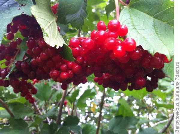 гроздь калины красной