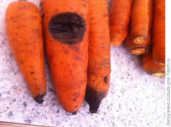 гниль на моркови