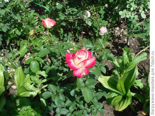 Роза Ванилин с замечательным ароматом ванили