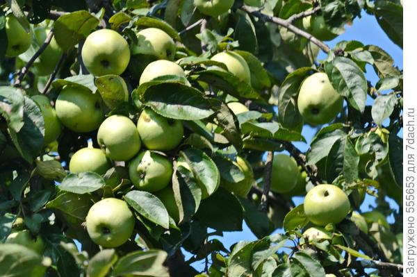 Можно ли прививать раннюю яблоню на позднюю и наоборот?