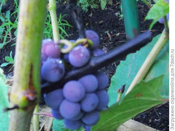 Первый виноград!