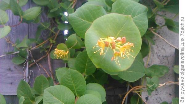 Полубуемся на затейливые цветы жимолости Каприфоль. Очень капризная дама: цветет на побегах прошлого года,если они не замерзнут зимой!