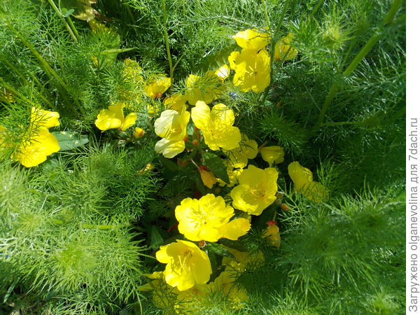 Адонис весенний из семян.