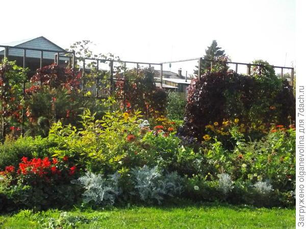 Осенью полюбуемся на багряный лист девичьего винограда!