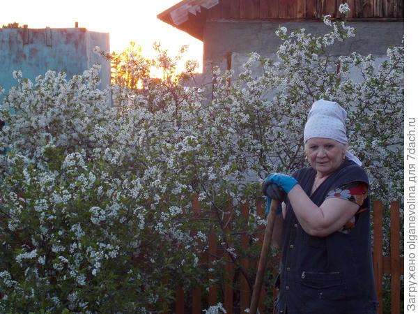 Вишня хоть и плодовый кустарник, но ее пенное белоснежное цветение радует глаз.