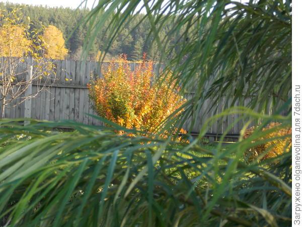 Тот же куст барбариса на берегу пруда сквозь ветви ивы!